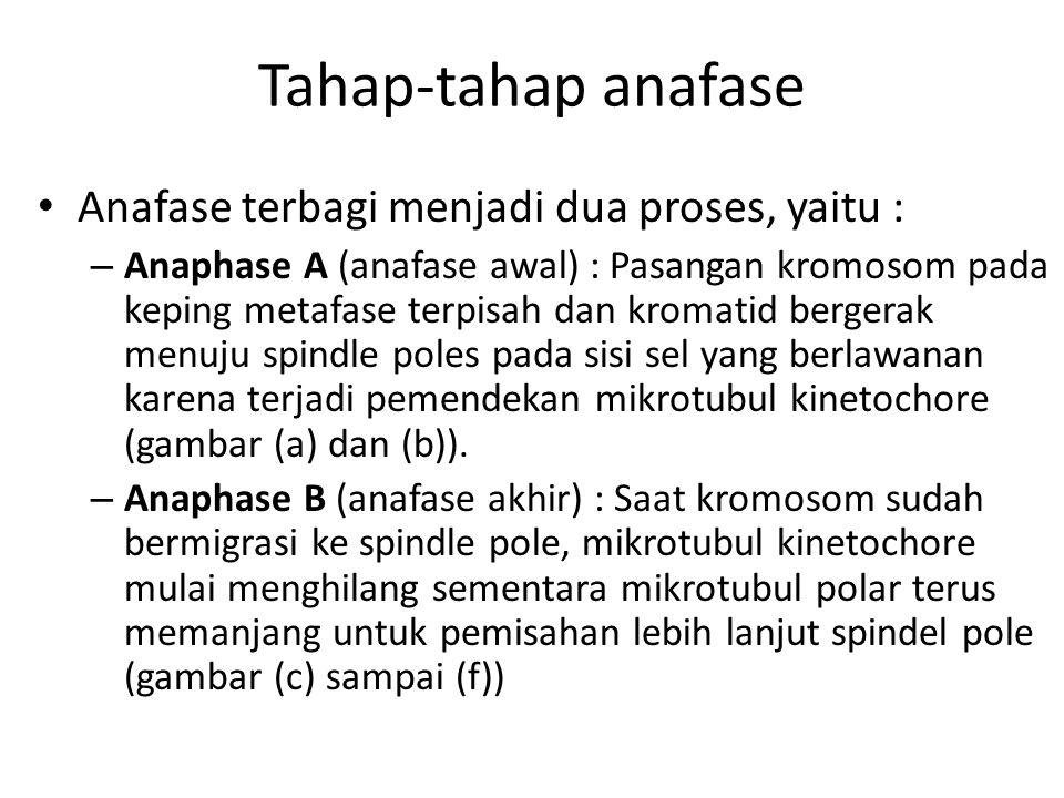 Tahap-tahap anafase Anafase terbagi menjadi dua proses, yaitu : – Anaphase A (anafase awal) : Pasangan kromosom pada keping metafase terpisah dan krom