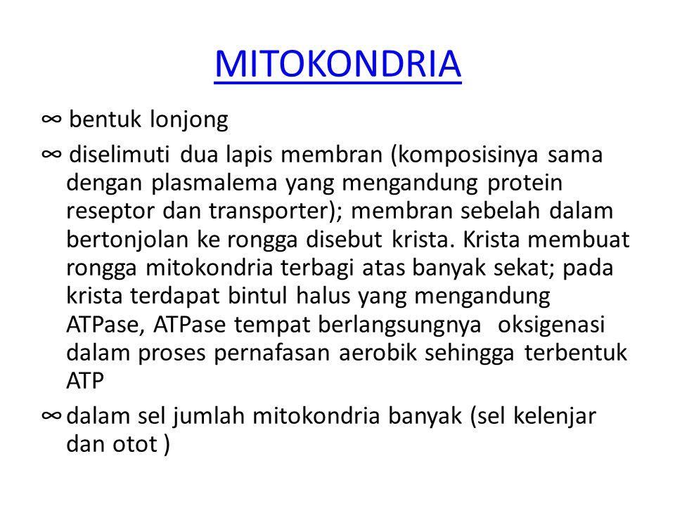 MITOKONDRIA ∞ bentuk lonjong ∞ diselimuti dua lapis membran (komposisinya sama dengan plasmalema yang mengandung protein reseptor dan transporter); me