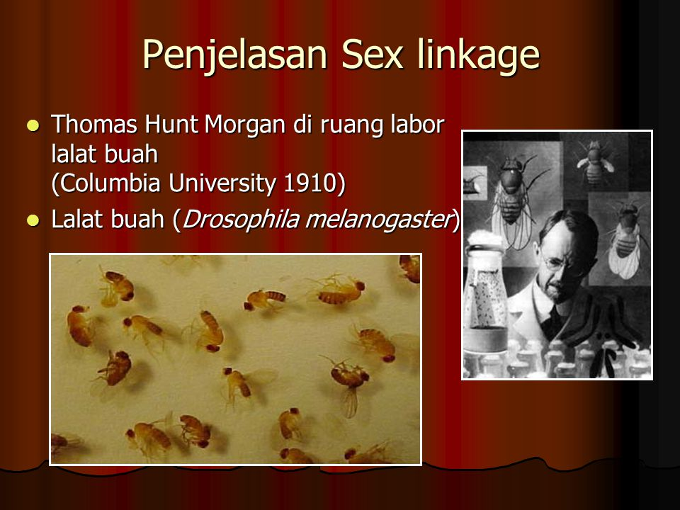 Penjelasan Sex linkage Thomas Hunt Morgan di ruang labor lalat buah (Columbia University 1910) Thomas Hunt Morgan di ruang labor lalat buah (Columbia University 1910) Lalat buah (Drosophila melanogaster) Lalat buah (Drosophila melanogaster)