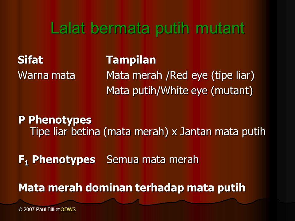 Lalat bermata putih mutant SifatTampilan Warna mataMata merah /Red eye (tipe liar) Mata putih/White eye (mutant) P Phenotypes Tipe liar betina (mata m