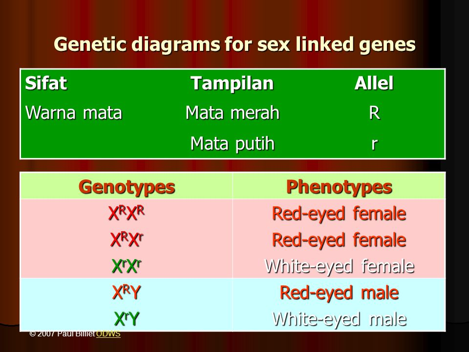 Genetic diagrams for sex linked genes SifatTampilanAllel Warna mata Mata merah R Mata putih r GenotypesPhenotypes XRXRXRXRXRXrXRXrXrXrXrXrXRXRXRXRXRXrXRXrXrXrXrXr Red-eyed female White-eyed female XRYXRYXrYXrYXRYXRYXrYXrY Red-eyed male White-eyed male © 2007 Paul Billiet ODWSODWS