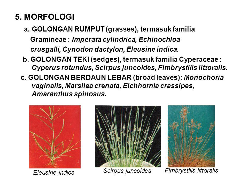 4.SISTEMATIKA MONOCOTYLEDONEAE: Imperata cylindrica, Cyperus rotundus, Cynodon dactylon.