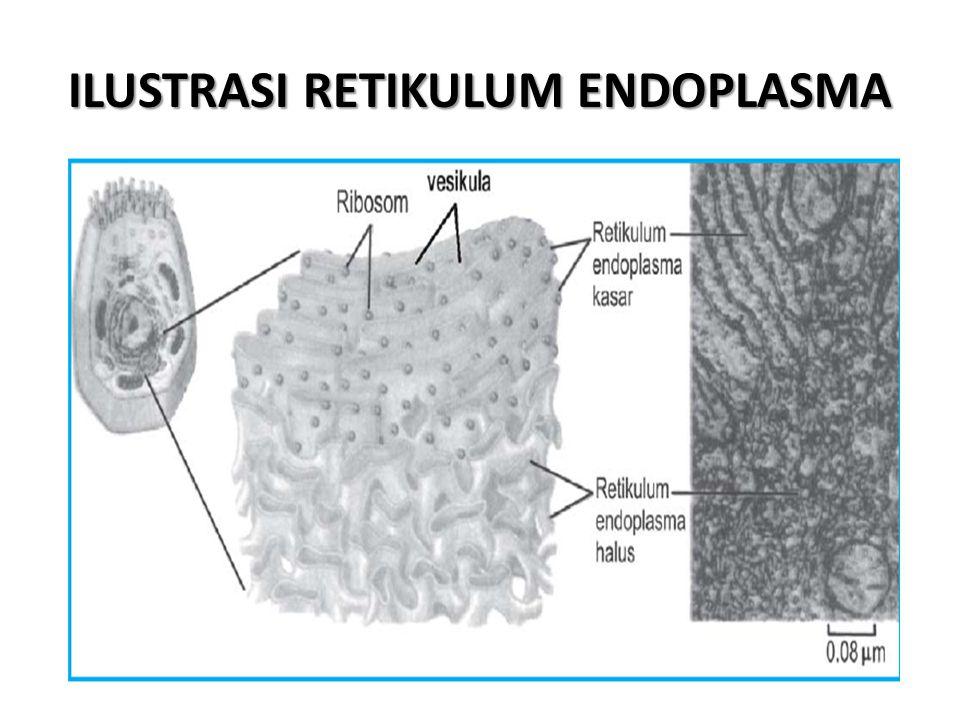 ILUSTRASI RETIKULUM ENDOPLASMA
