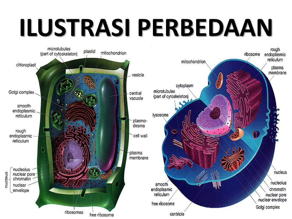 ANTARA LAIN, KARENA Dinding Sel pada tumbuhan berfungsi sebagai pelindung protoplasma, penguat tanaman dan mencegah terjadinya dehidrasi.