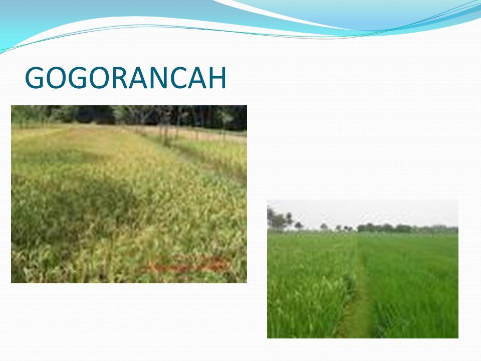 Kesimpulan 1. Padi gogorancah adalah padi yang ditanam dengan menerapkan gogo dan sawah. 2. Teknik budidaya padi gogo rancah yaitu: penyiapan lahan/pe