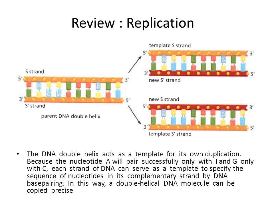 Review : Replication The DNA double helix acts as a template for its own duplication. Because the nucleotide A will pair successfully only with I and