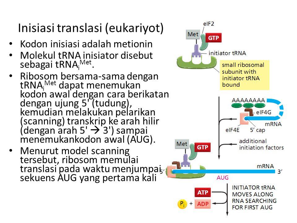 Inisiasi translasi (eukariyot) Kodon inisiasi adalah metionin Molekul tRNA inisiator disebut sebagai tRNA i Met.