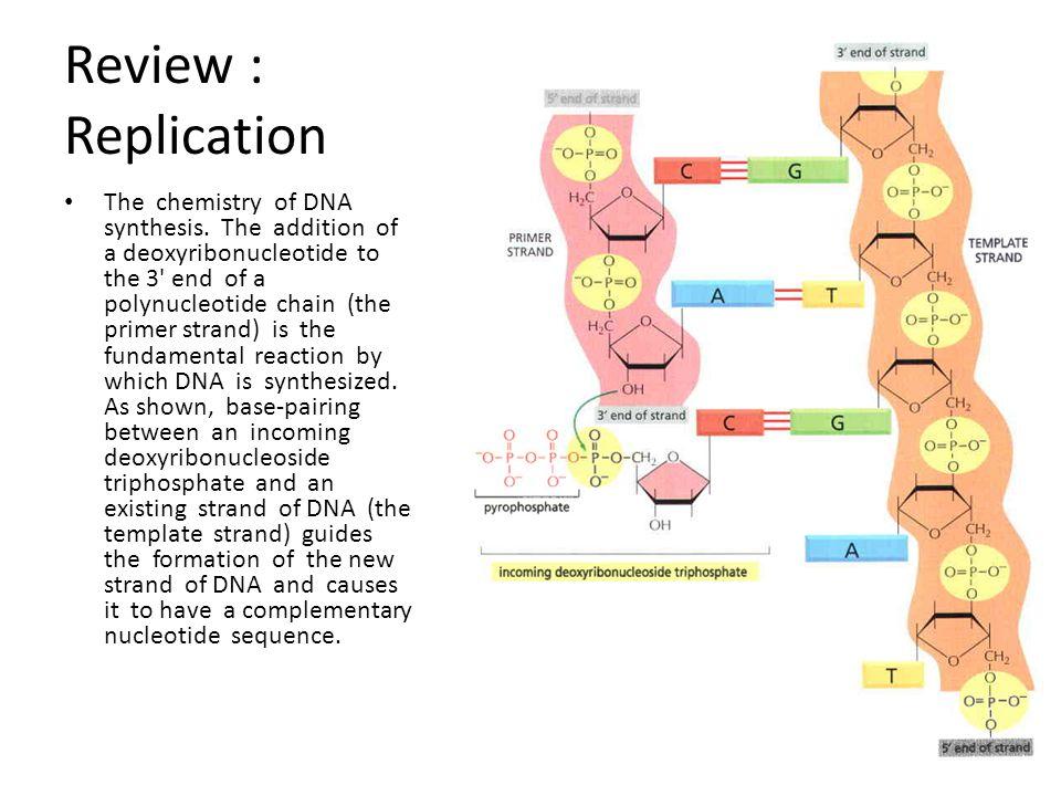 Transkripsi - Tranlasi Pada jasad prokaryot, translasi sudah dimulai sebelum proses transkripsi (sintesis mRNA) selesai dilakukan.