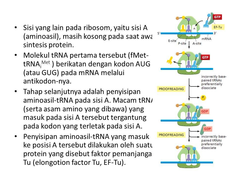 Sisi yang lain pada ribosom, yaitu sisi A (aminoasil), masih kosong pada saat awal sintesis protein.