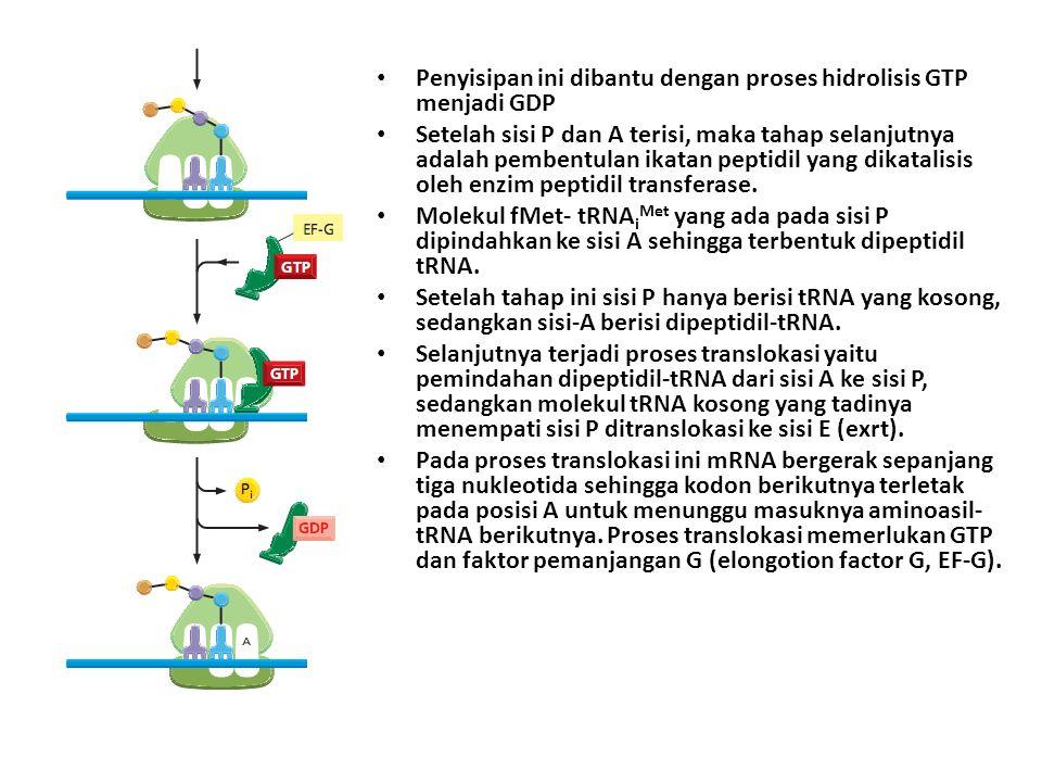 Penyisipan ini dibantu dengan proses hidrolisis GTP menjadi GDP Setelah sisi P dan A terisi, maka tahap selanjutnya adalah pembentulan ikatan peptidil yang dikatalisis oleh enzim peptidil transferase.