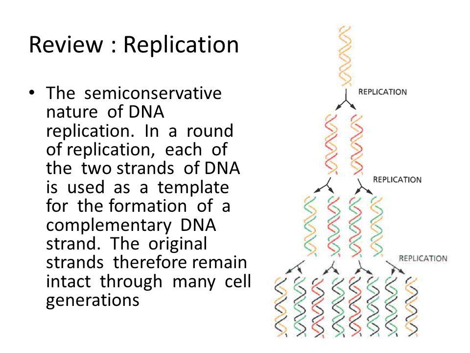 Proses Translasi Proses translasi berlangsung melalui tiga tahapan utama, yaitu: (1 ) inisiasi (initiation), (2) pemanjangan (elongation) poli-asam amino, dan (3) pengakhiran (termination) translasi.