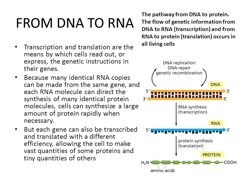 FROM DNA TO RNA Transcription and translation are the means by which cells read out, or express, the genetic instructions in their genes. Because many