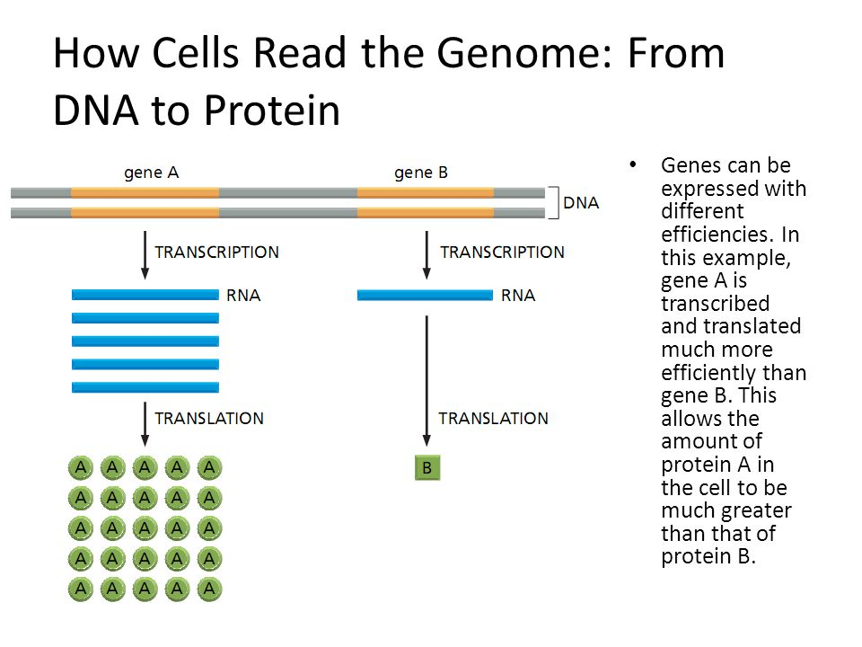 How Cells Read the Genome: From DNA to Protein Genes can be expressed with different efficiencies. In this example, gene A is transcribed and translat