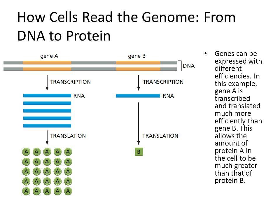 Pemanjangan polipeptida Proses pemanjangan polipeptida disebut sebagai proses elongation yang secara umum mempunyai mekanisme yang serupa pada prokaryot dan eukaryot.