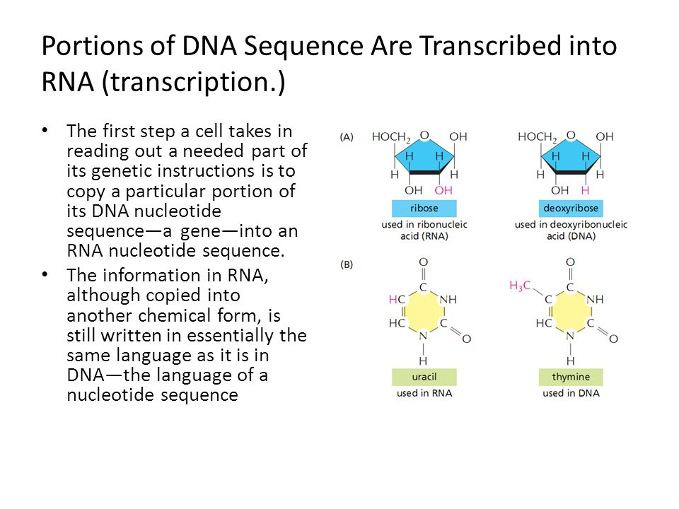 Portions of DNA Sequence Are Transcribed into RNA (transcription.) The first step a cell takes in reading out a needed part of its genetic instruction