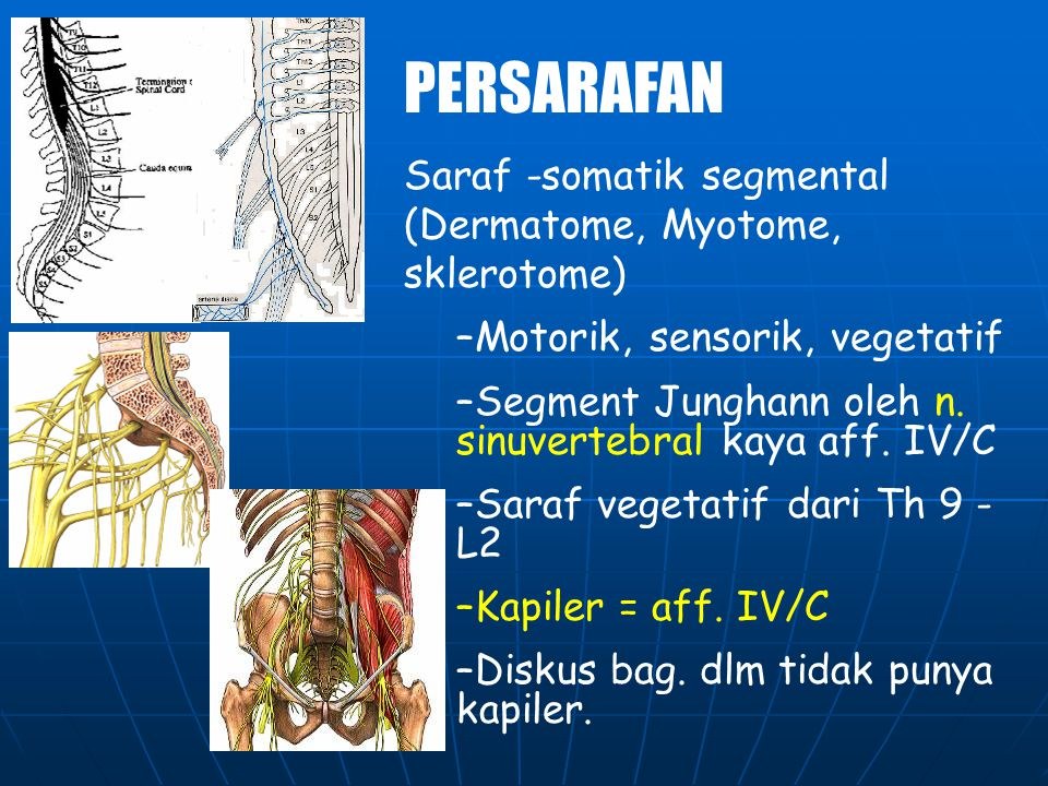 MUSCULAR PELVIC HIP COMPLEX Ta otot tonik dan phasic yg kuat Contracture otot mempengaruhi posisi dan gerak lumbar spine. M.iliopsoas (hyper lordosis)