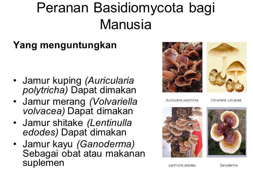 Peranan Basidiomycota bagi Manusia Yang menguntungkan Jamur kuping (Auricularia polytricha) Dapat dimakan Jamur merang (Volvariella volvacea) Dapat di