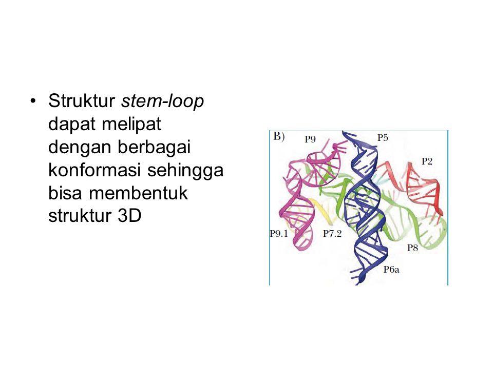 Struktur stem-loop dapat melipat dengan berbagai konformasi sehingga bisa membentuk struktur 3D
