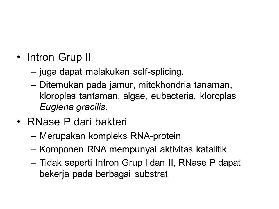 Intron Grup II –juga dapat melakukan self-splicing. –Ditemukan pada jamur, mitokhondria tanaman, kloroplas tantaman, algae, eubacteria, kloroplas Eugl