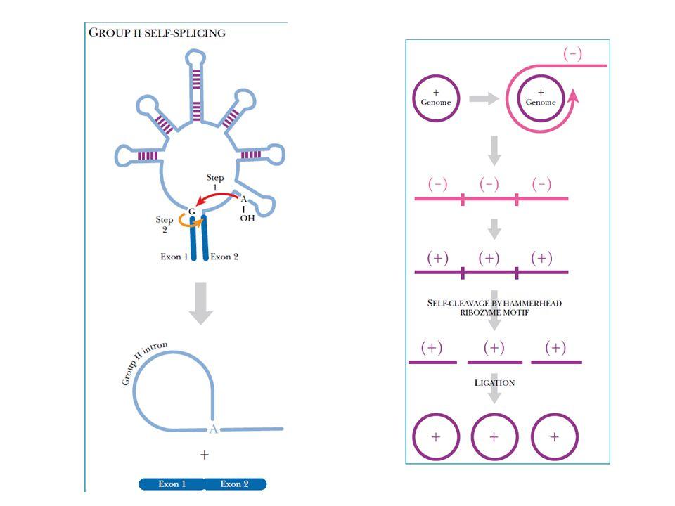 Hammerhead ribozim: RNA yang dapat mengkatalisis self splicing.