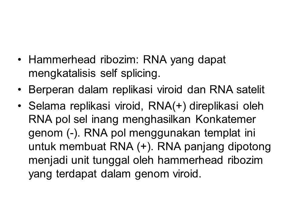 Hammerhead ribozim: RNA yang dapat mengkatalisis self splicing. Berperan dalam replikasi viroid dan RNA satelit Selama replikasi viroid, RNA(+) direpl