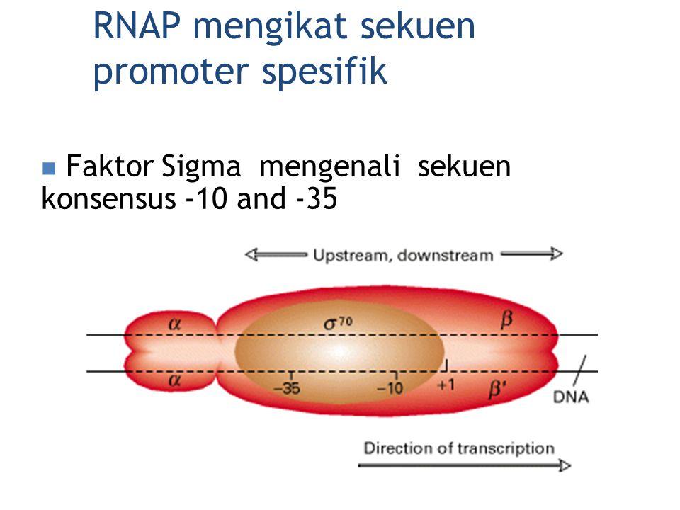 RNAP mengikat sekuen promoter spesifik Faktor Sigma mengenali sekuen konsensus -10 and -35