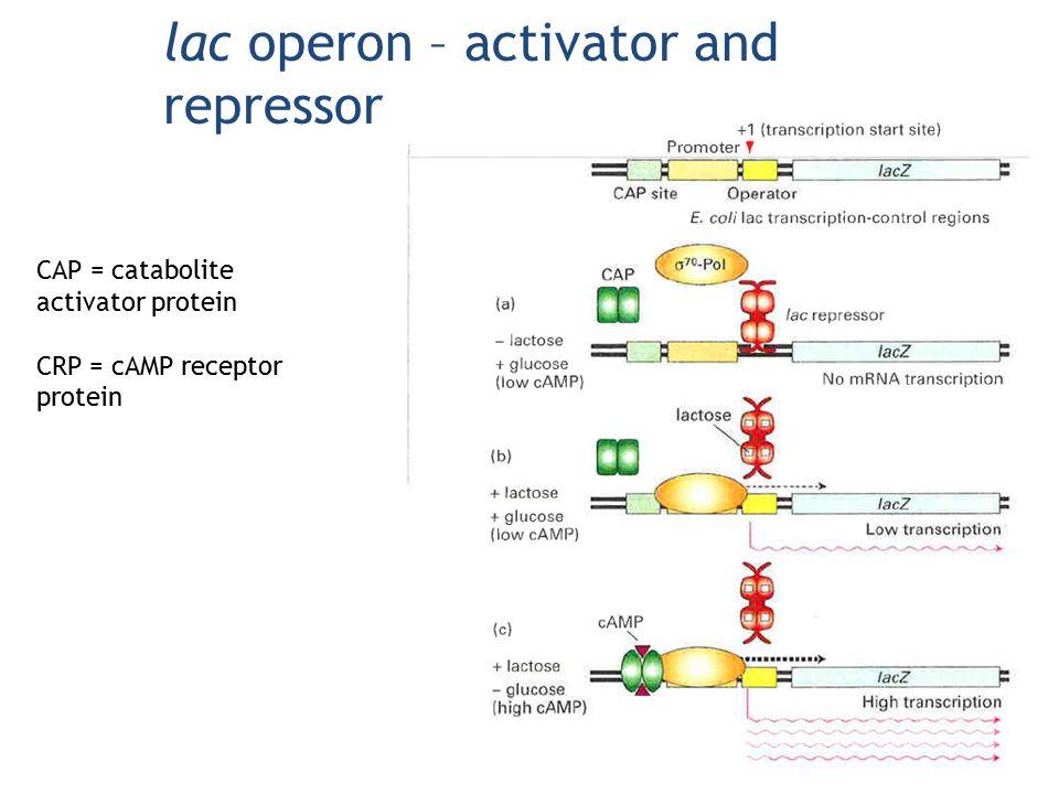 lac operon – activator and repressor CAP = catabolite activator protein CRP = cAMP receptor protein