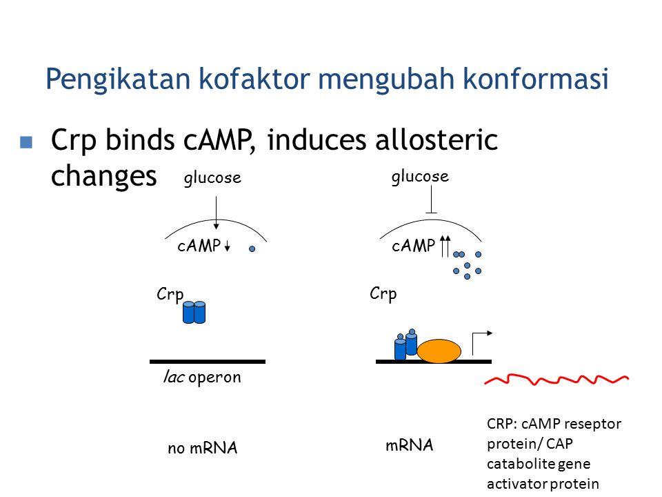 Pengikatan kofaktor mengubah konformasi Crp binds cAMP, induces allosteric changes glucose cAMP Crp lac operon no mRNA cAMP Crp glucose mRNA CRP: cAMP