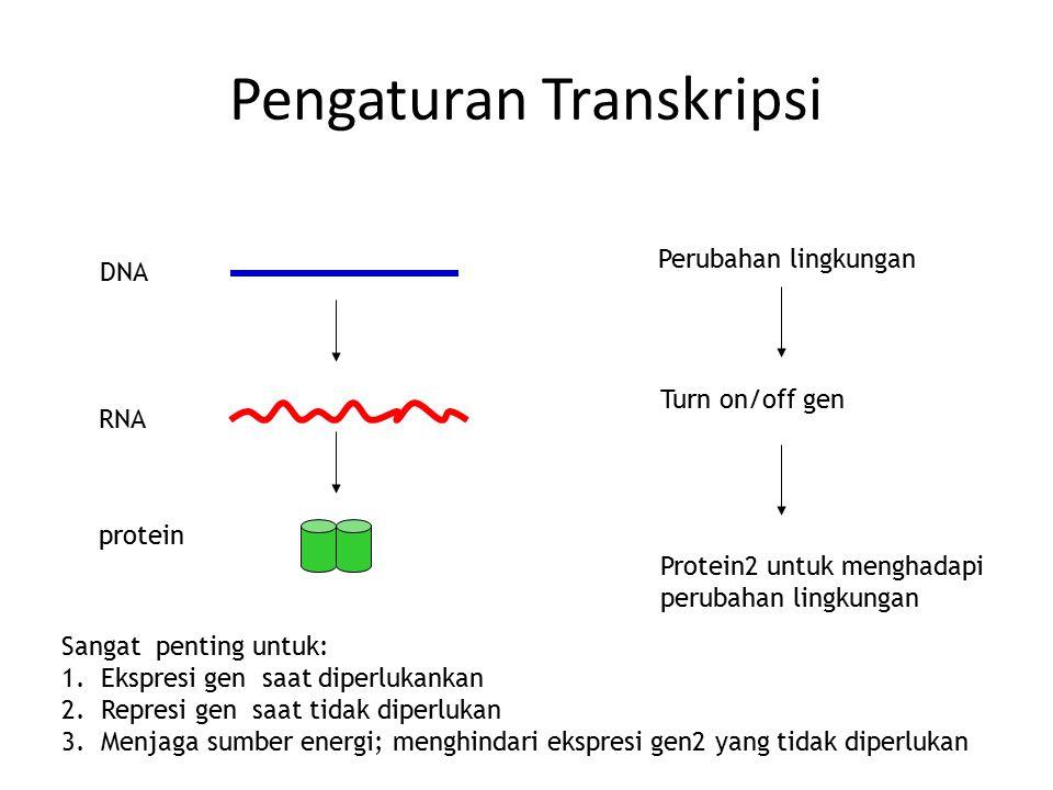 Pengaturan Transkripsi DNA RNA protein Perubahan lingkungan Turn on/off gen Protein2 untuk menghadapi perubahan lingkungan Sangat penting untuk: 1.Eks