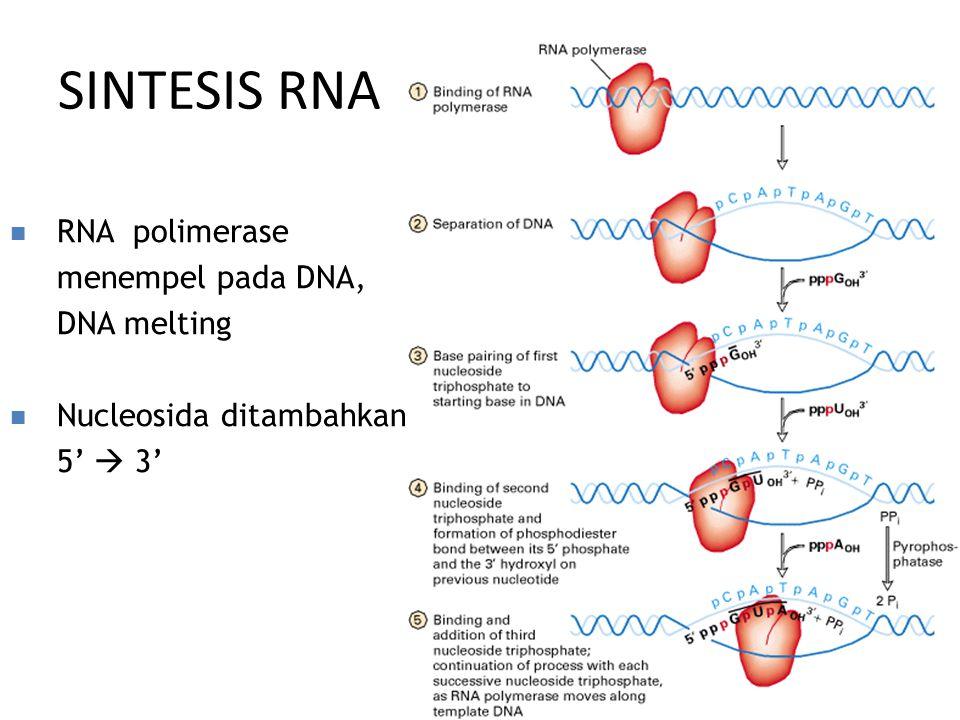 SINTESIS RNA RNA polimerase menempel pada DNA, DNA melting Nucleosida ditambahkan 5'  3'