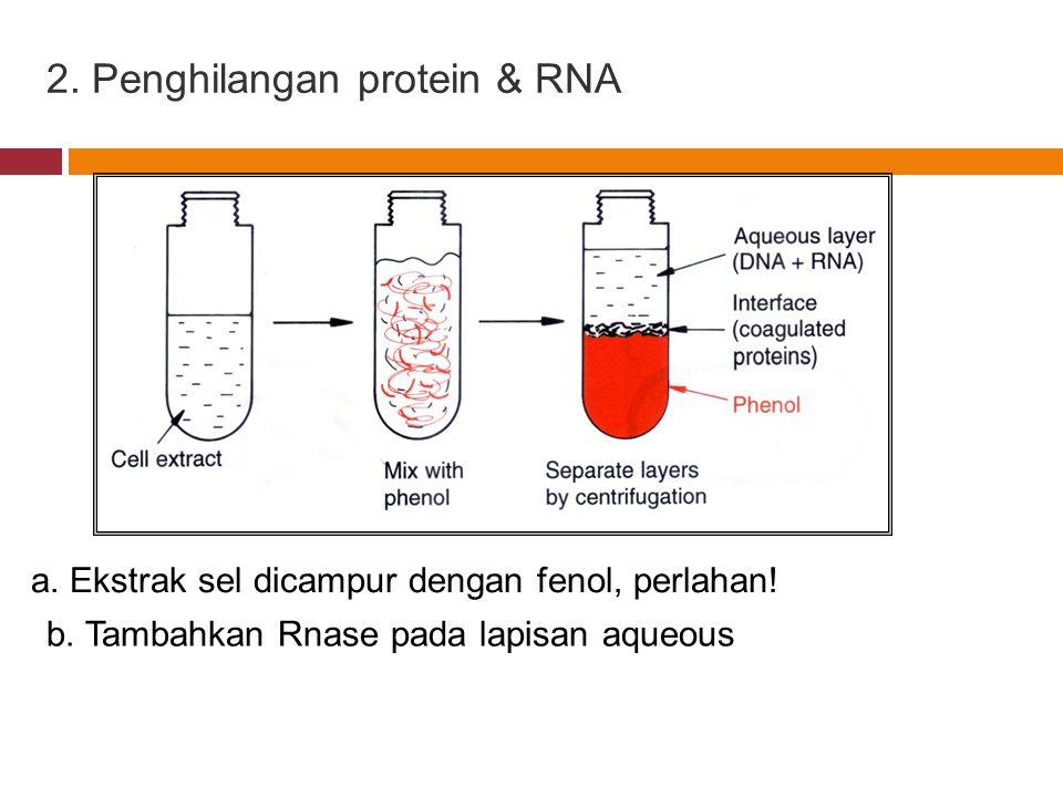 2. Penghilangan protein & RNA a. Ekstrak sel dicampur dengan fenol, perlahan! b. Tambahkan Rnase pada lapisan aqueous