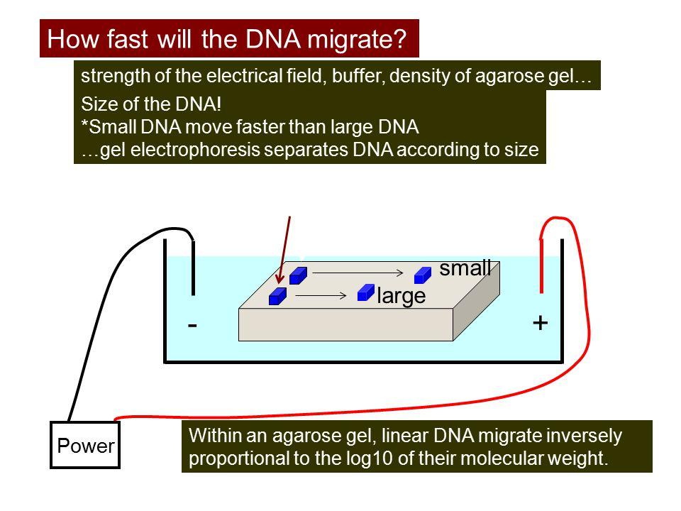 +- Power DNA How fast will the DNA migrate? strength of the electrical field, buffer, density of agarose gel… Size of the DNA! *Small DNA move faster