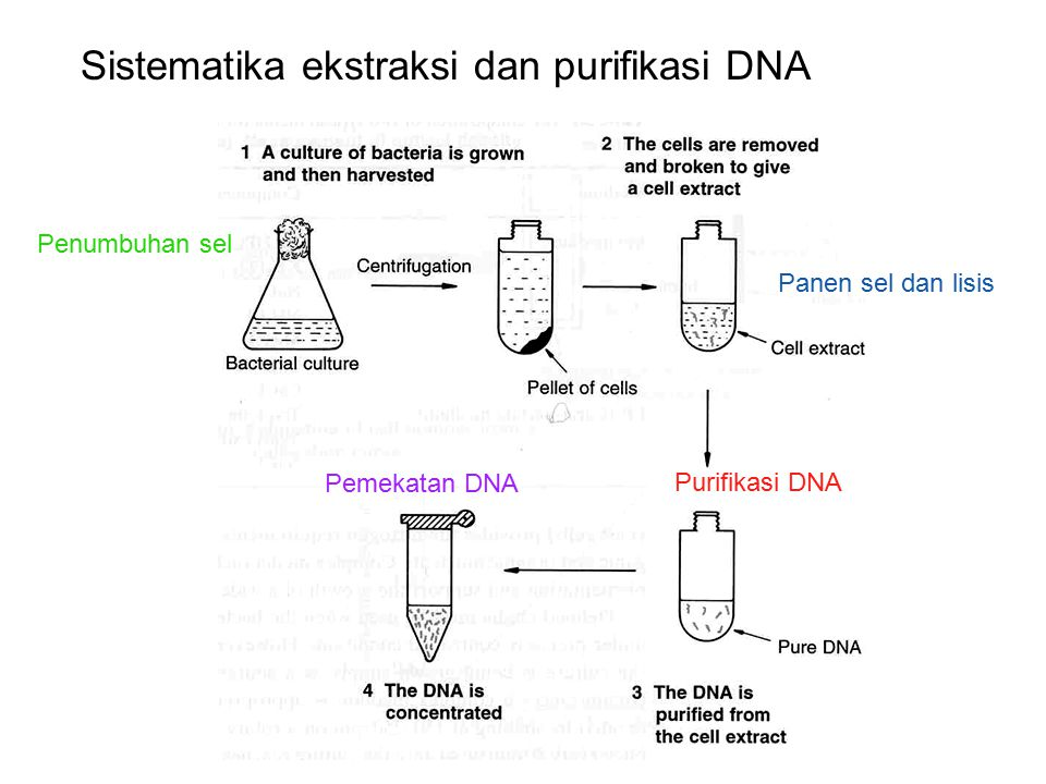 Penumbuhan sel Panen sel dan lisis Purifikasi DNA Sistematika ekstraksi dan purifikasi DNA Pemekatan DNA