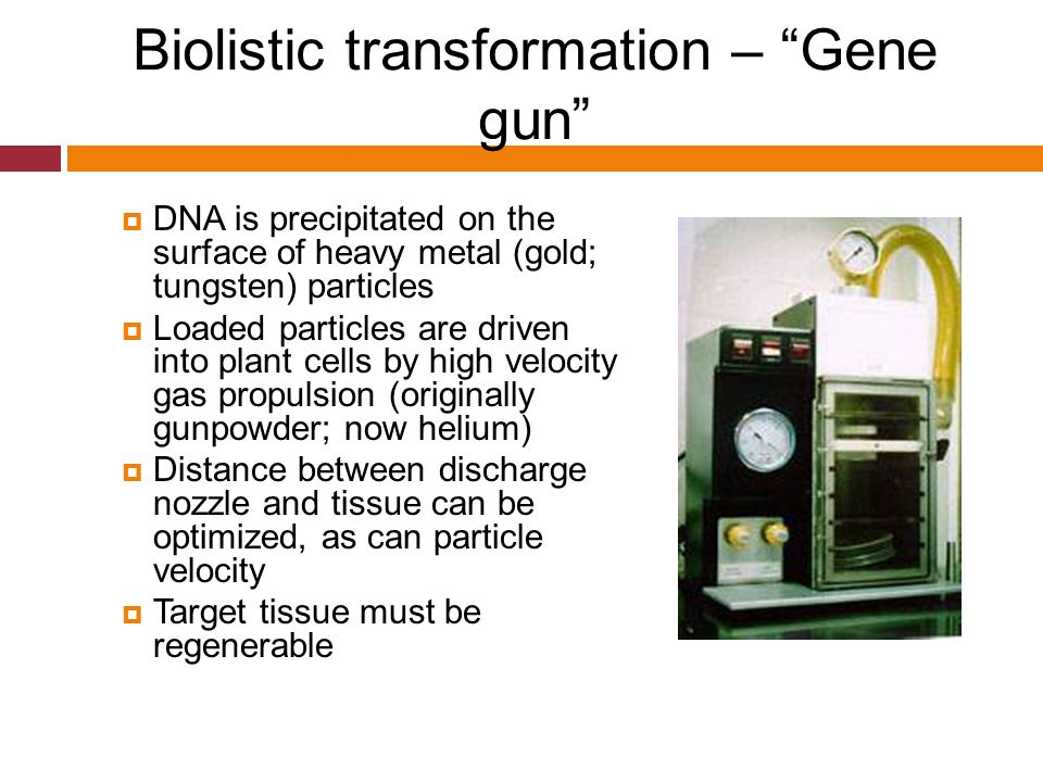"""Biolistic transformation – """"Gene gun""""  DNA is precipitated on the surface of heavy metal (gold; tungsten) particles  Loaded particles are driven int"""