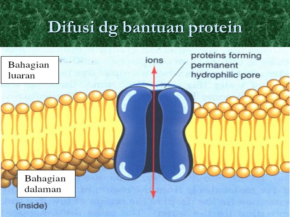 Difusi dg bantuan protein