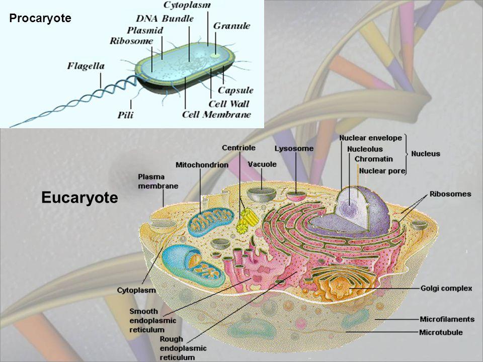 Procaryote Eucaryote
