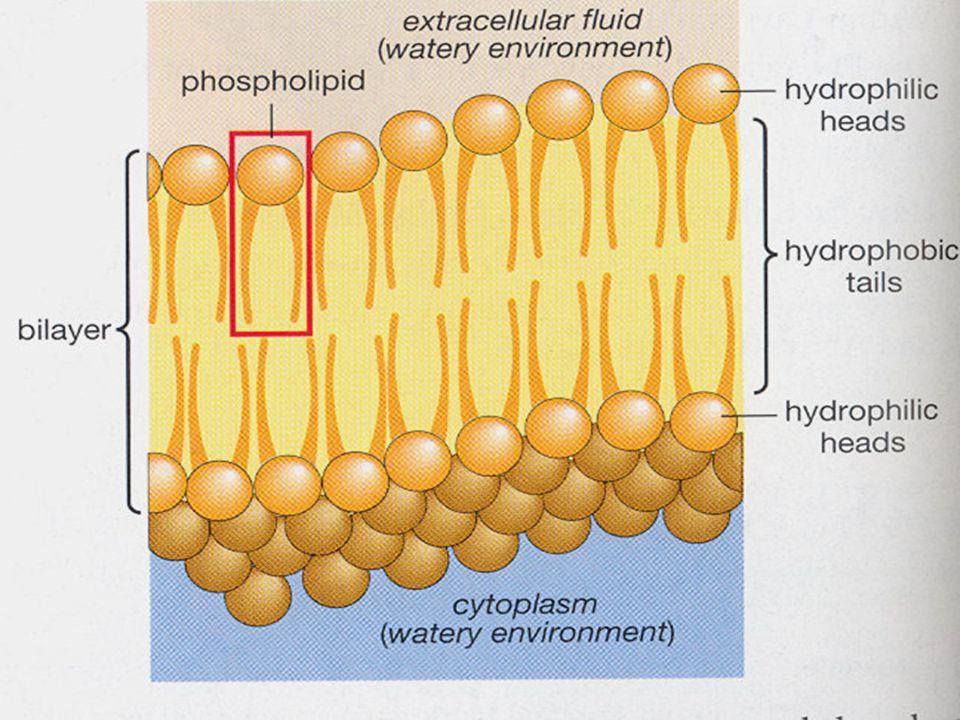Struktur membran sel -Membran lipid ganda merupakan satu sawar utama yg bersifat impermiabel terhadap bahan- bahan yg larut dlm air, seperti ion, glukosa dan urea.