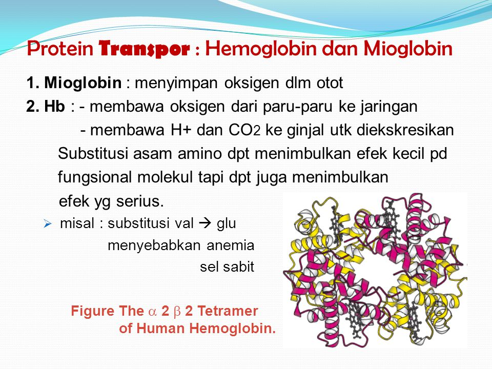 Protein Transpor : Hemoglobin dan Mioglobin 1. Mioglobin : menyimpan oksigen dlm otot 2. Hb : - membawa oksigen dari paru-paru ke jaringan - membawa H