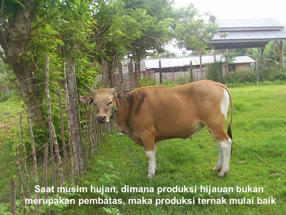 Saat musim hujan, dimana produksi hijauan bukan merupakan pembatas, maka produksi ternak mulai baik