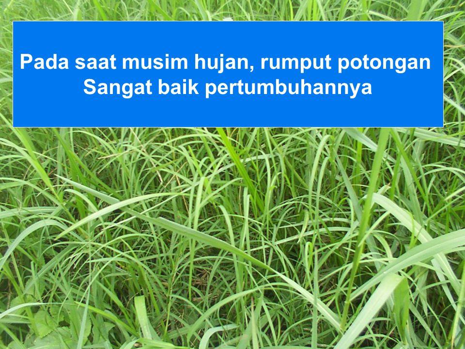 Pada saat musim hujan, rumput potongan Sangat baik pertumbuhannya