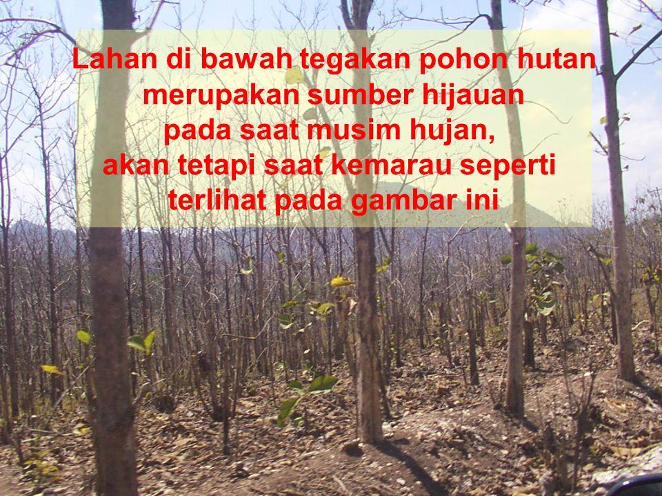 Lahan di bawah tegakan pohon hutan merupakan sumber hijauan pada saat musim hujan, akan tetapi saat kemarau seperti terlihat pada gambar ini