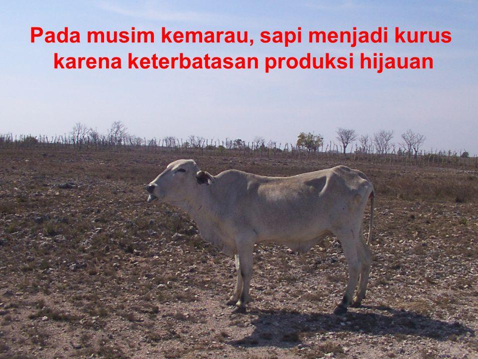 Pada musim kemarau, sapi menjadi kurus karena keterbatasan produksi hijauan