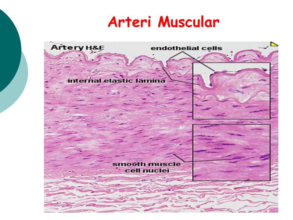 Arteri Muscular