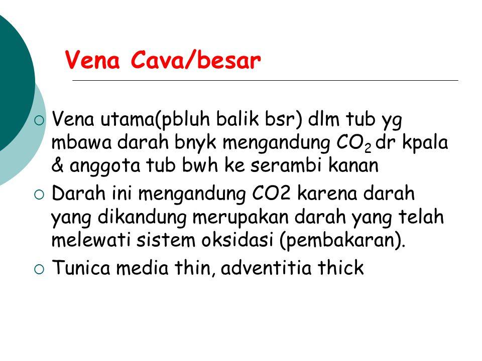 Vena Cava/besar  Vena utama(pbluh balik bsr) dlm tub yg mbawa darah bnyk mengandung CO 2 dr kpala & anggota tub bwh ke serambi kanan  Darah ini meng
