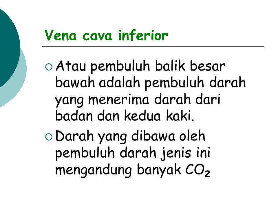 Vena cava inferior  Atau pembuluh balik besar bawah adalah pembuluh darah yang menerima darah dari badan dan kedua kaki.