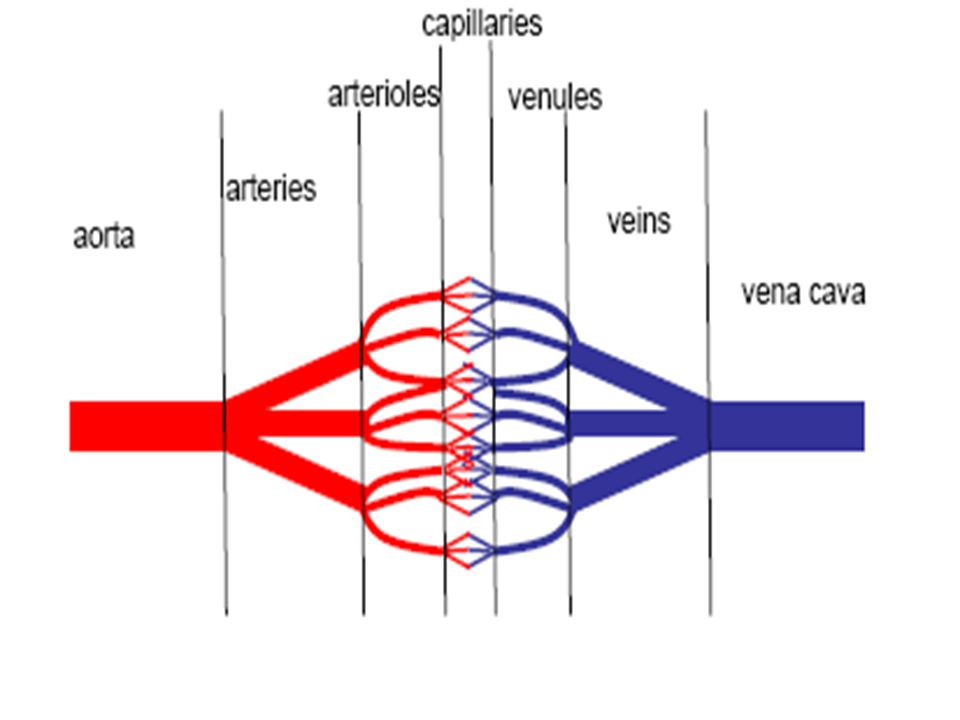 Vessel Histology AArteries and veins are composed of 3 layers or tunics tunica interna tunica media tunica externa CCapillaries are composed of a single tunic tunica interna