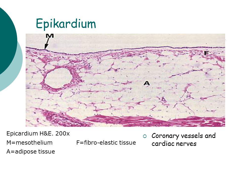 Epikardium Epicardium H&E. 200x M=mesotheliumF=fibro-elastic tissue A=adipose tissue CCoronary vessels and cardiac nerves