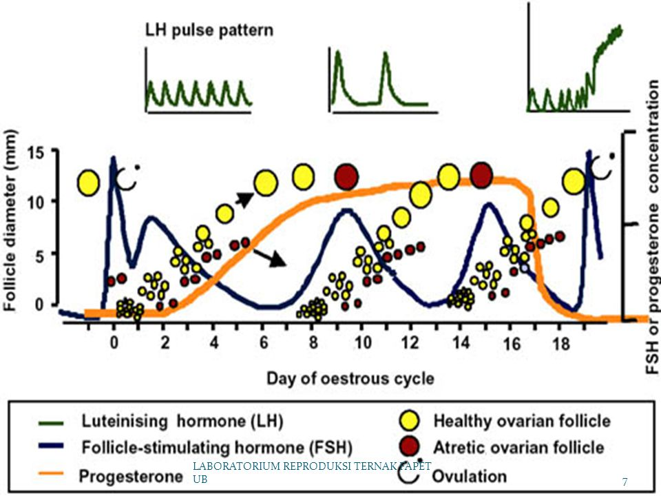 Hormon selama siklus estrus LABORATORIUM REPRODUKSI TERNAK FAPET UB8