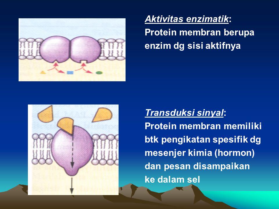 Aktivitas enzimatik: Protein membran berupa enzim dg sisi aktifnya Transduksi sinyal: Protein membran memiliki btk pengikatan spesifik dg mesenjer kim