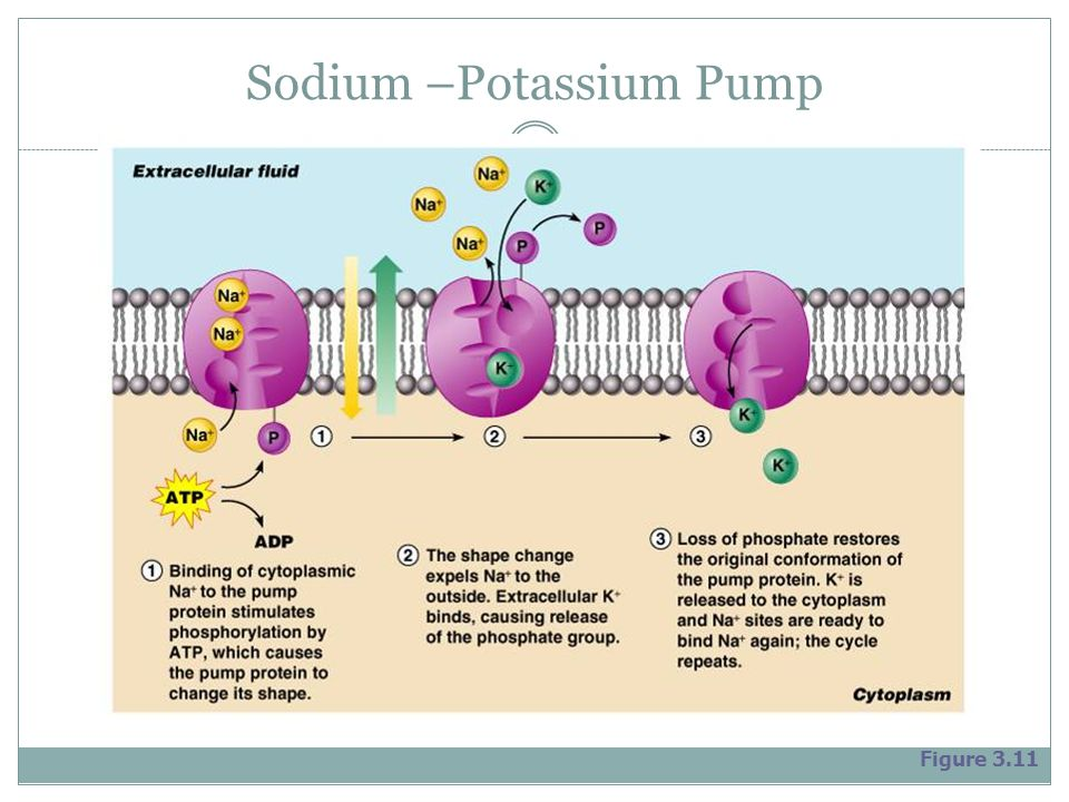 Sodium –Potassium Pump Figure 3.11